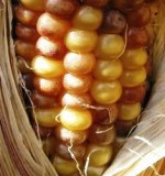 Heavy spotting on corn kernels reveals the activity of the Mutator system. (Photo: Damon Lisch)