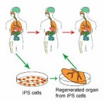 Attempt to Repeal SD Embryonic Stem Cell Research Ban Involves More Deception